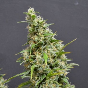 Auto Northern Light Feminized