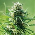 Auto Sweet Tooth Feminized