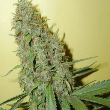 Auto Cheese Feminized