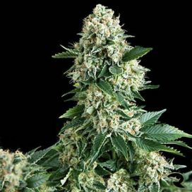 Auto New York Diesel Feminized
