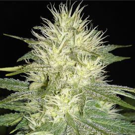 Auto White Russian Feminized