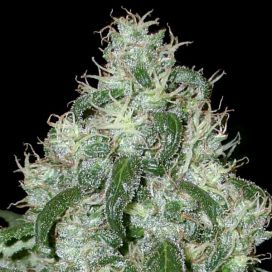 Auto White Widow Feminized