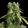 Auto Big Cheese Feminized