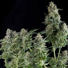 Auto Big Gun Feminized