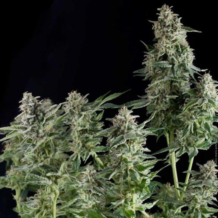 Auto Big Gun Feminized International cannabis marijuana seeds for sale  online