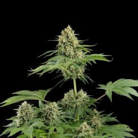 Moby Dick Feminized