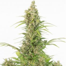 White Widow feminized CBD