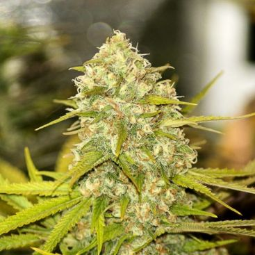 Lemon Skunk Feminizad