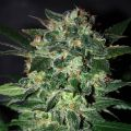 Black Domina Feminized
