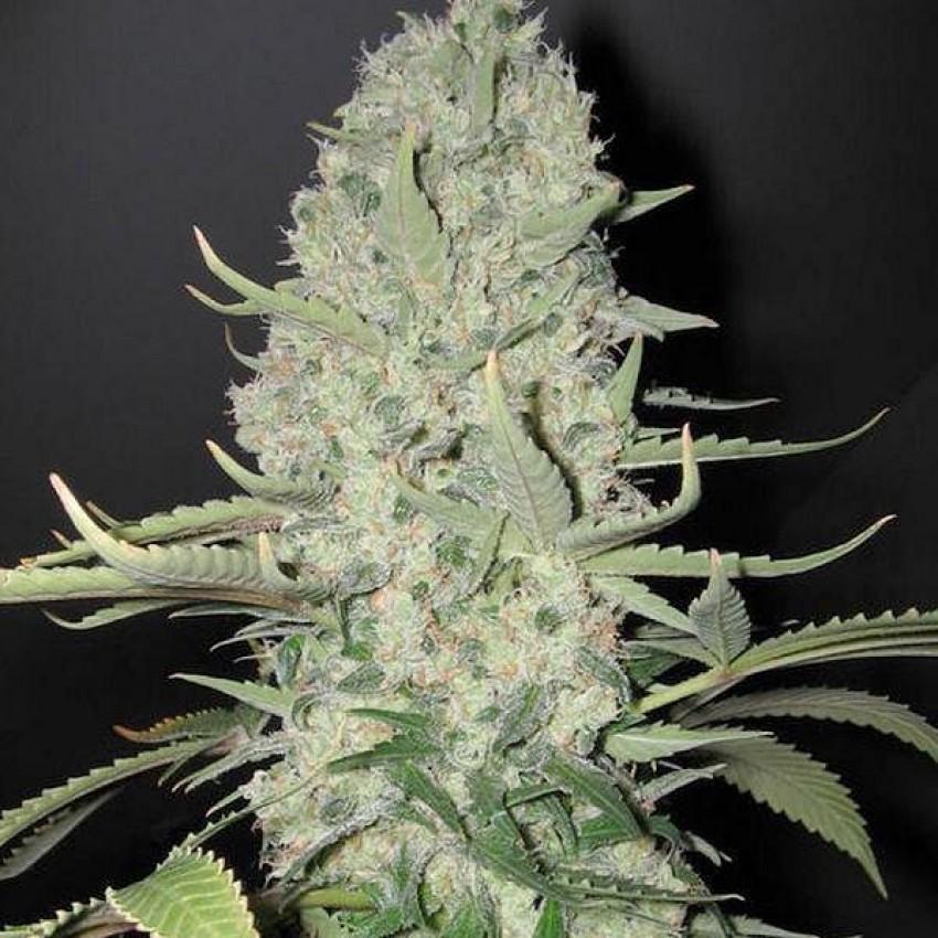 Закажу семена канабиса польза от марихуана
