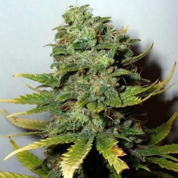 Original Skunk Feminized