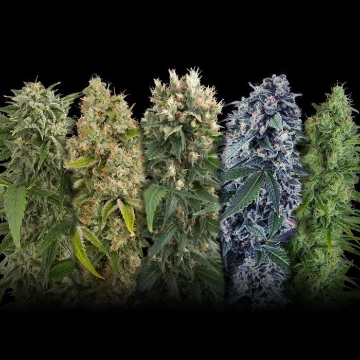 Seed семена марихуаны алкоголь конопля сравнение