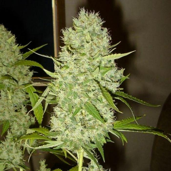 Скрещивание сортов конопли семена марихуаны нижний новгород