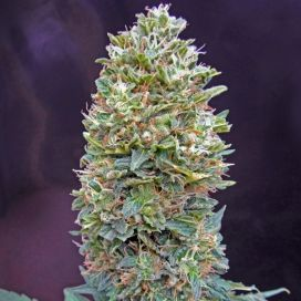 Auto Bubble Gum Feminized