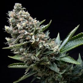 Nefertiti Feminized