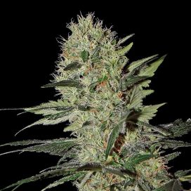 Exodus Cheese Feminized