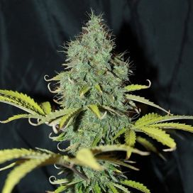 Mafia Skunk Feminized